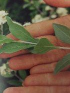 肥料も水やりもせず、雨水だけで育った天然100%の「ヘナ」は最高品質とされています。
